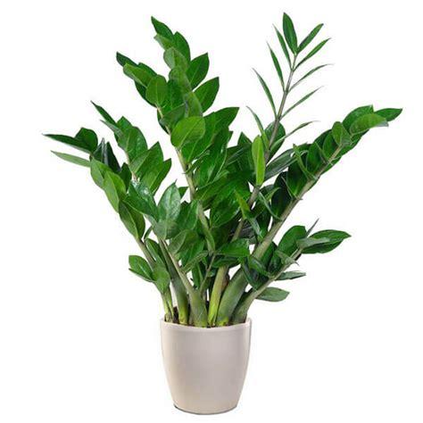 piante da interni poca luce piante hanno bisogno di poca luce affordable piante
