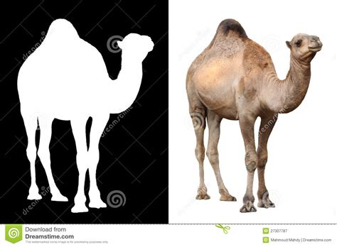 Camel Animal Over White Royalty Free Stock Photography ...