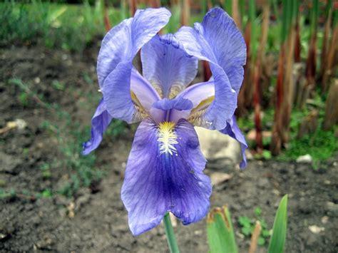 imagenes de flores iris iris azul im 225 genes y fotos