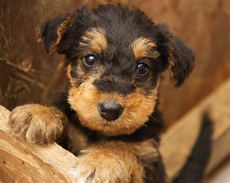airedale terrier puppy pups terrier puppies terrier and animal