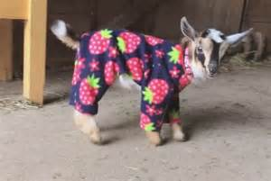 Video baby goats in pajamas pophangover
