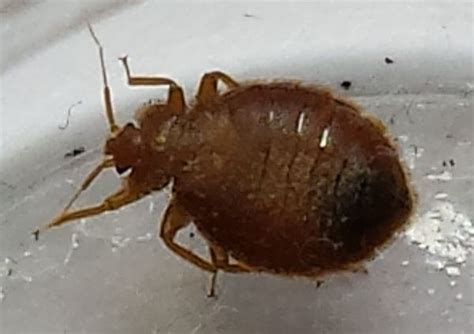 bed bugs in bathroom bed bugs in bathroom prepossessing bed bugs in bathroom impressive inspiration bed