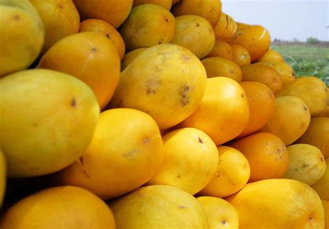 Harga Insektisida Metindo 12 tips cara budidaya menanam timun suri agar buah lebat