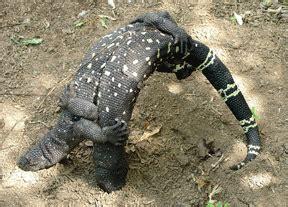 guatemalan beaded lizard guatemalan quot judo ch quot beaded lizards arkive asked who