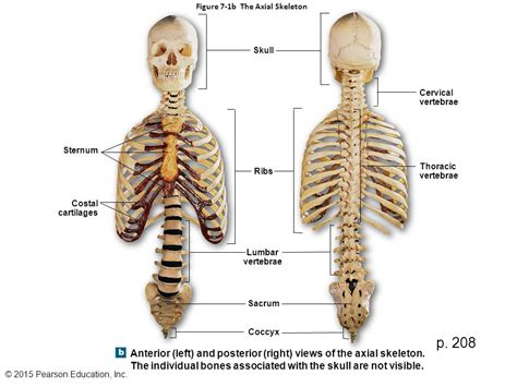 p figure 7 figure 7 1a the axial skeleton ppt