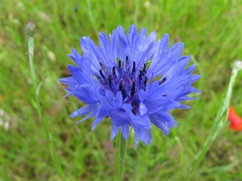 fiordaliso fiore foto fiori fiordaliso fiori di piante