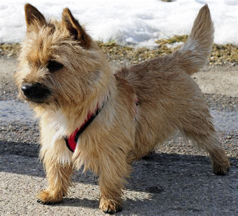 free puppies ta norwich terrier dogs breeds pets