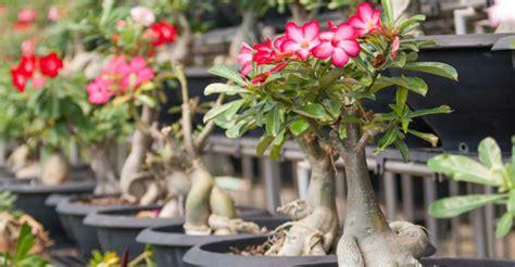 life cycle   desert rose adenium obesum world