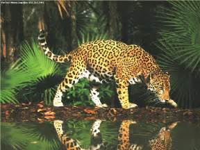 What Do Jaguars Eat In The Rainforest Nyhk The Spotted Felines