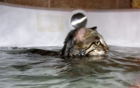 Cat Swimming In Bathtub by Grace On High Bengals Home