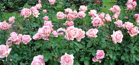 fertilize roses heirloom roses