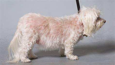 cushing s disease for dogs animal clinic at thorndale p c cushing s disease