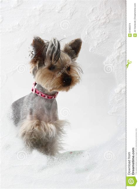 yorkies in the winter small yorkie in the winter window stock photo image