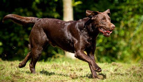 how to my labrador how to exercise your labrador retriever