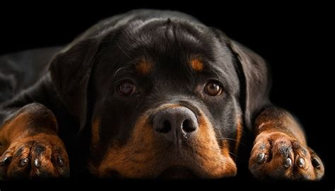 are rottweilers safe the right food for your rottweilers safe pet treats
