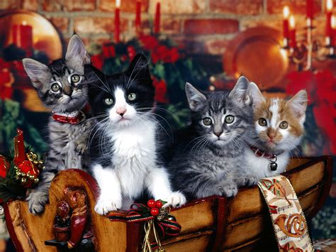 images of christmas cats cute christmas kitten wallpapers free christian wallpapers
