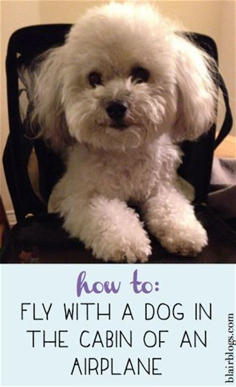 flying with a puppy in cabin 444 best images about maltipoo on