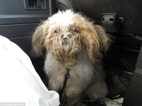 how to shave a shih tzu shih tzu puppy found in 2kg of matted fur has found a new home daily mail