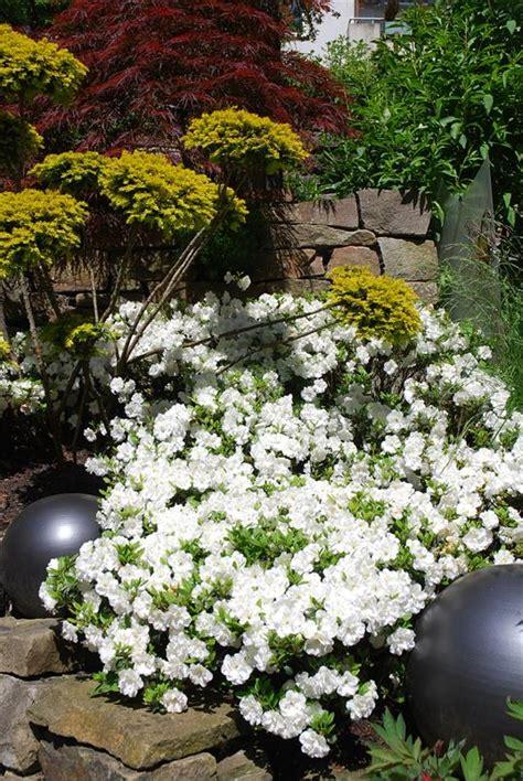 wann hortensien pflanzen wann rhododendron pflanzen wann darf ich rhododendron