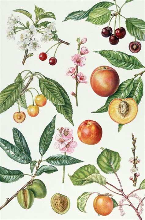 fruit bearing trees identification fruit bearing cherry trees pictures to pin on