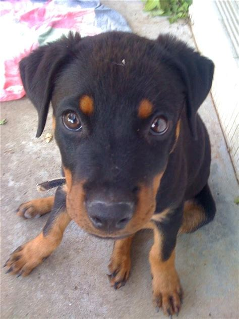 rottweiler club of america german and american rottweilers breeds picture