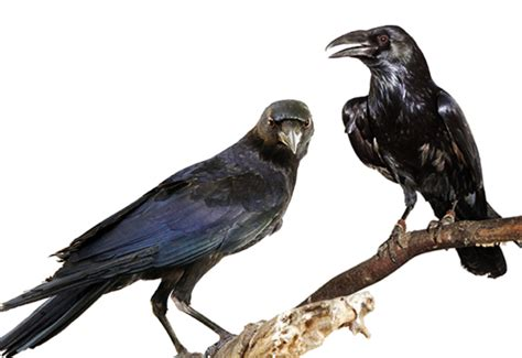 remarkably curious and intelligent crows and ravens
