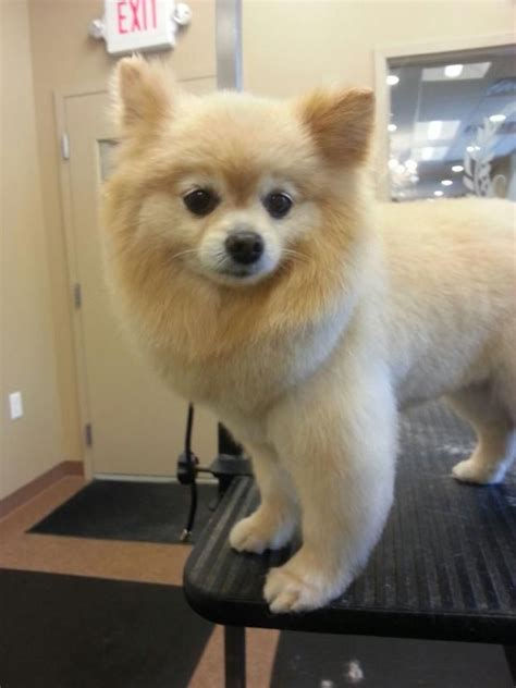 haired pomeranian pomeranian dogs hair cut www imgkid the image kid has it