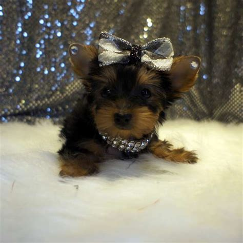 small yorkies teacup terrier puppies adorable puppies for sale all breeds picture