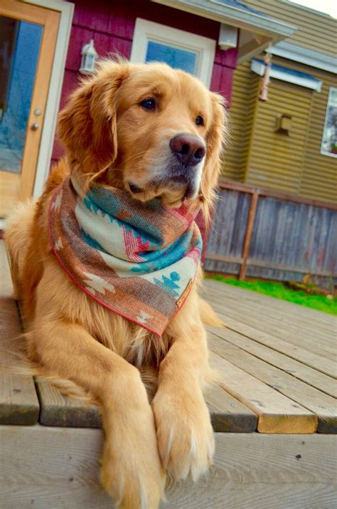 golden retriever jacket best 25 retriever puppies ideas on baby