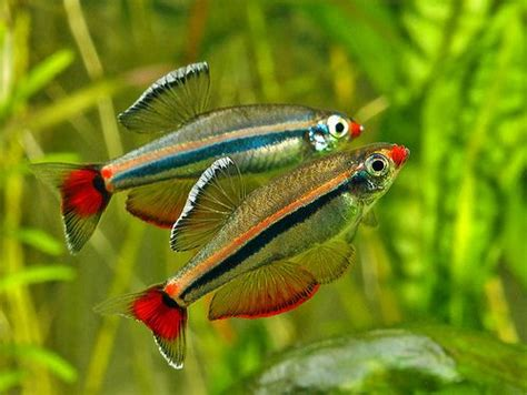 Ikan Hias White Cloud Mountain 96 best images about aquascape fish on live fish fresh water and plecostomus