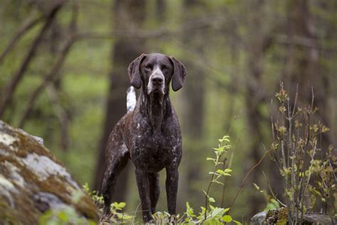 German Shorthaired Pointer Shedding by German Shorthaired Pointer Shedding 28 Images Lab