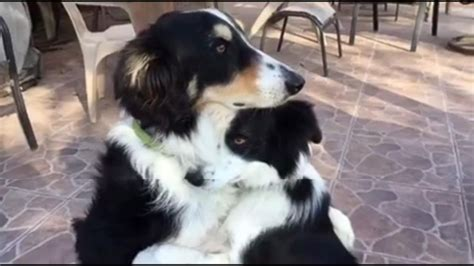 hugging dogs best buds hug it out abc news