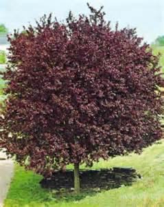 prunus cerasifera nigra tree blerick trees buy online
