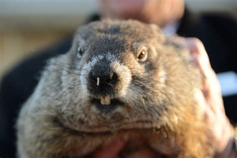 groundhog day phil how accurate are groundhog day predictions