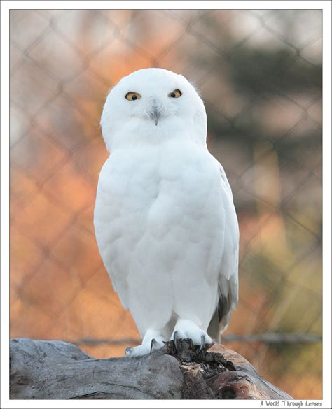 quot white quot animal in the zoo snowy owl a world through lenses