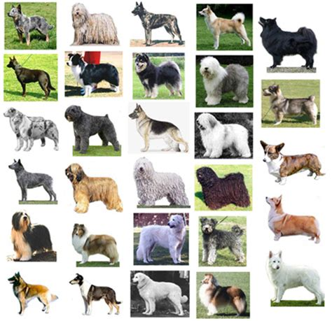 types of working dogs working breed information and photos of 30 breeds breeds picture