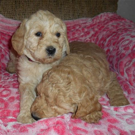 mini goldendoodles hypoallergenic 31 best images about hypoallergenic pups on
