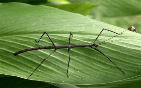 walking stick bug creepy and not so creepy crawlies pinterest walking sticks walking
