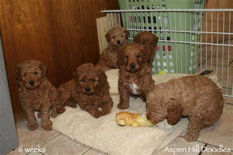 mini doodle colorado goldendoodle puppies from colorado