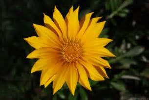 images flowers gazania rigens