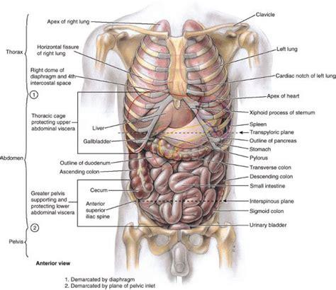 rib cage and organs diagram anatomy organ
