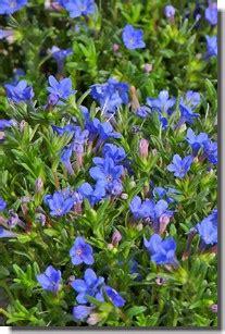 Fleurs Bleues Vivaces by Fleurs Bleues Vivaces La Pilounette