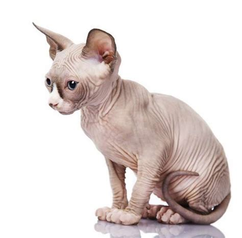 Minskin Cat Breed   Cat breeds of the world