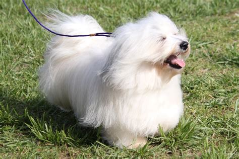 havanese information breeds terrier breeds picture