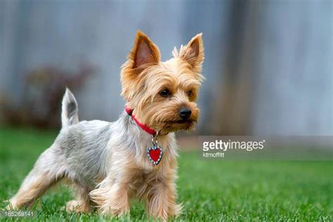 yorkie puppies delaware terrier photos et images de collection getty images