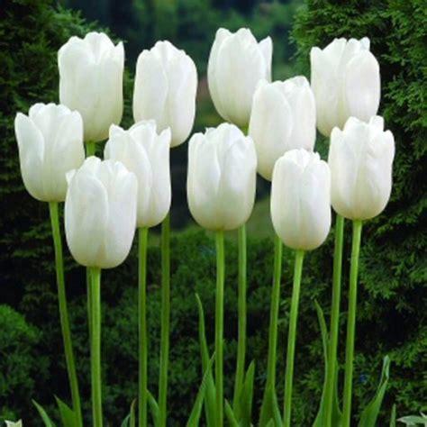fiori stelo lungo tulipano lungo stelo wildhof 10 bulbi vendita piante
