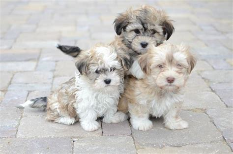 teacup havanese puppies for sale in illinois maltipoo tennessee puppies breeds picture breeds picture