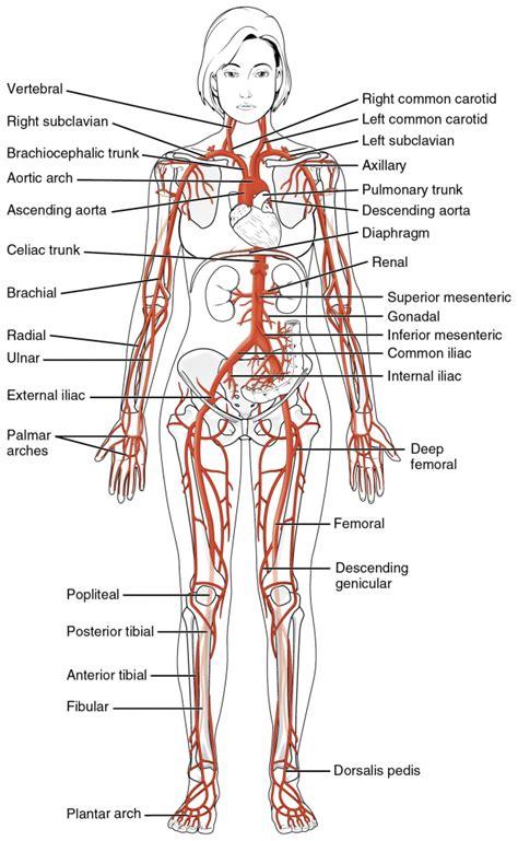 anatomy diagram anatomy of major organs human anatomy diagram