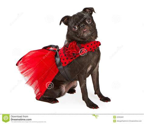 black pug clothing black pug wearing and black dress stock image image 22065681