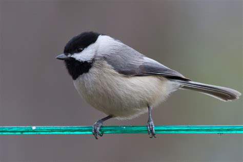warming temperatures are pushing two chickadee species and